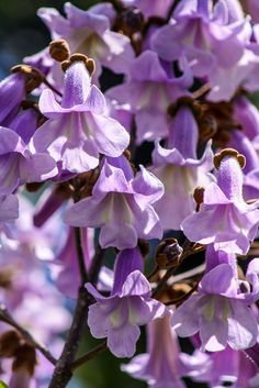 The gorgeous purple blooms of the Royal Paulownia tree named after ANNA PAVLOVNA of RUSSIA/QUEEN ANNA PAULOWNA of the Netherlands.