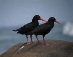 African oystercatcher - Bing Images