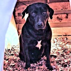 Meet Nanna, a Petfinder adoptable Black Labrador Retriever Dog | Rutherfordton, NC | Nanna is a female Black Lab mix, born in February, 2011. She has a white patch on her chest.  She...