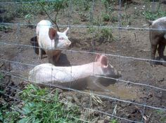 Putting the Pigs Out to Pasture Good article about raising pigs on a small scale