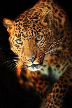 Photo about Winter leopard in its natural habitat. Image of mammal, proud, animals - 28701007 Jaguar, Beautiful Cats, Animals Beautiful, Animals And Pets, Cute Animals, Big Cats Art, Gato Grande, Photo Chat, Majestic Animals