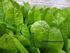 Lettuce seeds worth saving