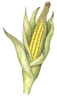 Wisconsin State Grain: Corn