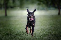 Dog photography | Pet photography | Dog photographers | #dogphotography #petphotogtaphy #gordonsetter #norwaydog #oslo #bergen #norwayphotographer Dog Photography, Photography Portfolio, Gordon Setter, Bergen, Oslo, Dog Lovers, Photo And Video, Dogs, Animals
