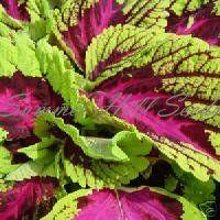Coleus Kong Rose seeds summerhillseeds.com