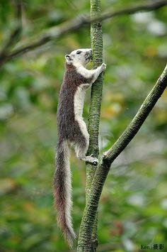 Variable Squirrel (Callosciurus finlaysonii)