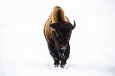 Lone Bison on snow covered road, Winter in Yellowstone National Park (pinned by haw-creek.com)