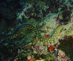 """Repost from Instagram ! #WeLike ! #Madinina by @dove.woods """"Nice moray eel close to Rocher du Diamant in lovely Martinique august 2006. #martinique #madinina #caribbean #sea #scuba #scubadiving #morayeel"""" http://ift.tt/1PdqqFB"""