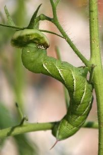 Tomato Hornworm - the enemy of the tomato plant + - control with a sprinkle of cornmeal