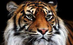 Webquest per investigar sobre els tigres a l'Educació Infantil (5 anys).