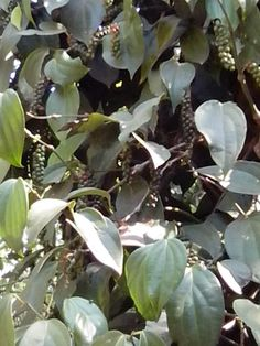black pepper grows as a creeper Spice Garden, Leaf Flowers, Creepers, Kerala, Pepper, Plant Leaves, India, Green, Plants