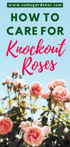 Knockout Roses are hardy and durable. One of the easiest rose trees to grow. Learn how to grow and care for knockout roses correctly with pruning, fertilizer, mulch and winter care. Knockout Roses Care, Pruning Knockout Roses, Best Roses, Rose Care, Growing Roses, Growing Greens, Rose Trees, Organic Roses, Simple Rose
