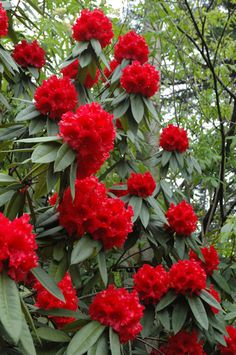 Taurus, early season, 5'-6' in 10 years, protect from hot afternoon sun Unusual Flowers, Unusual Plants, Exotic Plants, Red Flowers, Beautiful Flowers, Bonsai Plants, Garden Plants, Flor Magnolia, Rhododendron