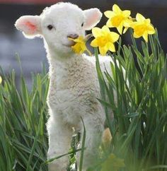 Lamb - spring - Easter Everyday Activities, Community Boards, Healthy Choices, Starter Kit, Helping People, Christian Inspiration, Fitness Nutrition, Psalms, Lamb
