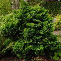 Chamaecyparis obtusa 'Nana Gracilis' - Faux cyprès du Japon - Cupressus hinoki Hinoki Cypress, Back Gardens, Herbs, Gardens, Green Leaves, Plants, Herb