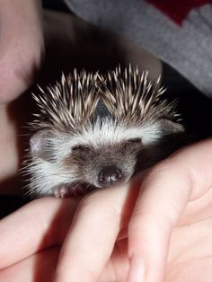 As if I haven't said it before... I really want a hedgehog.