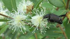 Escarabajo en flor de arrayán
