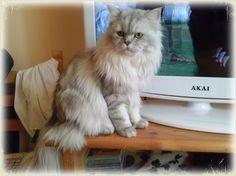 #persiancat #chinchillasilvercat #chinchillasilvershaded #blacksilvercat #blackchinchilla #gattopersiano #persianochinchilla #chinchillablacksilver #Romeo #gatto #silvertabbycat