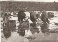 Gathering Carrageen at Cashla, County Galway.