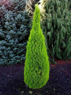 Cupressus macrocarpa ' Wilma Goldcrest ' Golden Monterey Cypress