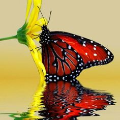 Red butterfly on yellow flower reflected in water