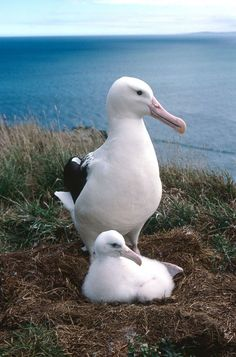 New Zealand Travel Inspiration - This Royal Albatross and chick, along with a breeding colony of penguins, are amongst the wildlife seen at the Royal Albatross Centre at Taiaroa Head in Dunedin, New Zealand. Read the article to see more. Visit Australia, Australia Travel, Dunedin New Zealand, Living In New Zealand, Adventure Activities, New Zealand Travel, Cruise Travel, Sea Birds, South Island