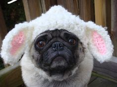 it's a pug dressed as a lamb :D