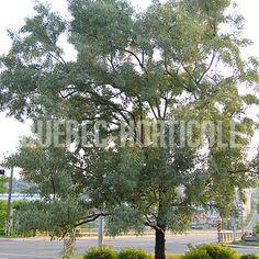image de Elaeagnus angustifolia Quebec, Photos, Image, Gardens, Fast Growing, Flower Colors, Yellow Flowers, Index Cards, Plants
