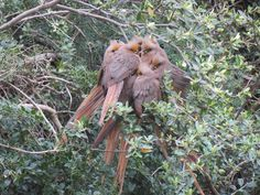 Mousebirds at Bucklands, huddled together at the start of a cold morning.  #photography #birding #mousebirds #bucklandsprivategamereserve  #africa #southafrica