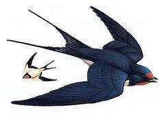 Perching birds, or songbirds, are the most common birds on Earth. Learn all about perching birds at HowStuffWorks. Barn Swallow, Swallow Bird, Names Of Birds, Birds Pics, Swift Bird, Common Birds, Swallow Tattoo, Bird Perch, Bird Drawings