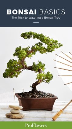 Did you know that most indoor bonsai trees die because of dehydration? Don't sweat it. In this handy, step-by-step video, we'll show you an easy trick that will keep it healthy and thriving all year long.