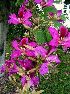 Florida Orchid Tree - Bauhinia purpura