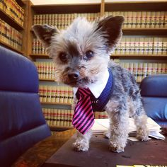I am the only paralegal for a very small law firm. When I started here, I didn't have a dog. But I adopted a yorkie two years ago and my boss...