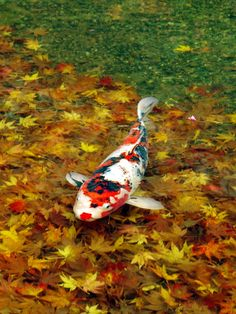 Japanese carp, Koi 鯉. Those beautiful leaves under the clear water