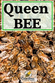 Queen Bee Facts-You Need to Know- Carolina Honeybees Bee Facts, Bee Hive Plans, Beekeeping For Beginners, Bee Swarm, Raising Bees, Backyard Beekeeping, Bee Happy, Save The Bees, Keeping Healthy