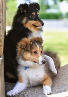 Sheltie Sunday, Shetland Sheepdogs Photos) Shelties are a very loving and super smart breed they super cute! Hope you have a happy Sheltie Sunday Animals And Pets, Baby Animals, Cute Animals, Beautiful Dogs, Animals Beautiful, Cute Puppies, Dogs And Puppies, Adorable Dogs, Pet Dogs
