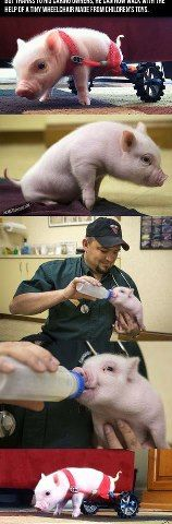 This pig was born without no back leg.He has to use a kids toy to help the pig walk.It is so SAD!!!!!!!!!:(