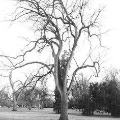 47 best black white images on pinterest photo black white black Older Men Oakley Sunglasses city park tree by meg macdonald