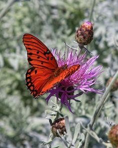 A Gulf Fritillary, orange butterfly, at the Huntington Library and Gardens