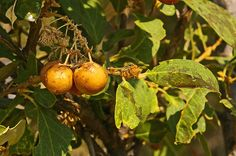 Boscia Mossambicensis    fruit         Broad-leaved Shepherds Tree           Breeblaarwitgat         6 m       S A no 126