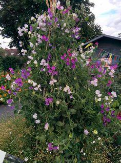Hajuherneitä. Kew Garden.