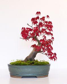 """Bonsai Tree - Japanese Maple (Acer Palmatum """"Deshojo"""") Back View"""
