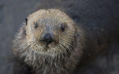 Sea Otter cuteness on overload. Oregon Coast Aquarium celebrates Sea Otter Awareness Day.