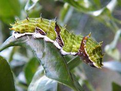 Caterpillar rearing its head