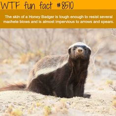 Honey Badger - WTF fun facts