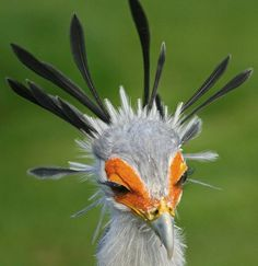 Secretary bird -- Just look at those eyelashes.