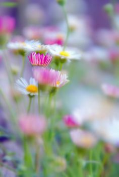 erigeron beauty (species of daisy-like flowering plants in the Aster family)