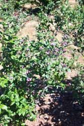 Growing Blueberry Bushes, How to Grow Blueberries, Blueberry Fruit Netting