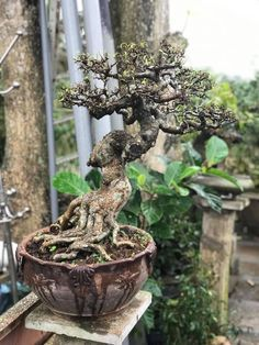 Bonsai Ficus, Bonsai Art, Bonsai Styles, Mini Bonsai, Flowering Trees, Garden Sculpture, Outdoor Decor, Flowers, Rock