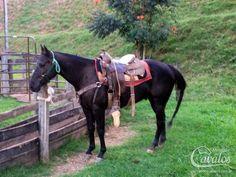 Guina Boy, Quarto de Milha, Macho - Mercado de Cavalos